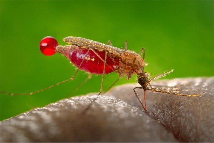 mosquito 542159 960 720 e1534255480422 - So verbreitet sich der Malariaparasit
